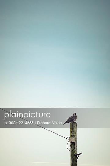 A wood pigeon sitting on a telegraph pole - p1302m2214833 by Richard Nixon
