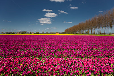 Tulip field - p1032m1139043 by Fuercho