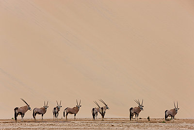 Oryx herd in dry river bed in front of large sand dune - p884m864536 by Theo Allofs