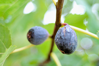 Figs - p8850185 by Oliver Brenneisen