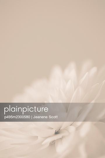 White Dahlia flower, close-up - p495m2300580 by Jeanene Scott