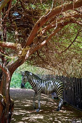 Zebra - p1164m1195236 von Uwe Schinkel
