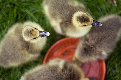 Ducklings - p1195m1071061 by Kathrin Brunnhofer