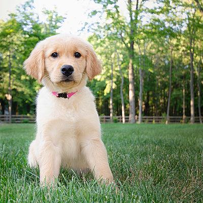 Golden Retriever puppy sitting on grass - p1427m2271676 by Chris Hackett