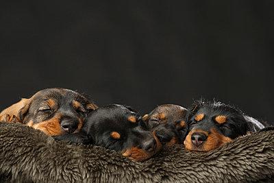 Sausage dog - p4030937 by Helge Sauber