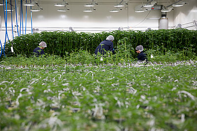 Growers tending to cannabis plants - p1192m2073895 by Hero Images