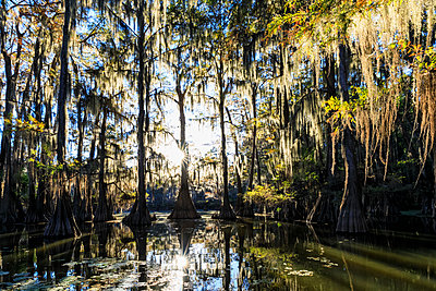 USA, Texas, Louisiana, Caddo Lake State Park, Saw Mill Pond, bald cypress forest - p300m1449711 by Fotofeeling