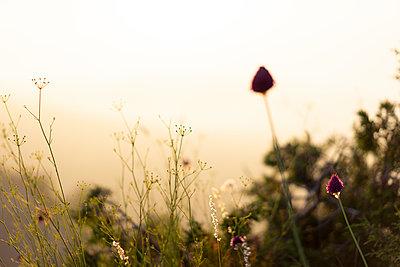 Spain, Catalonia, Grasses on Montcau at sunset - p300m2012321 von VITTA GALLERY