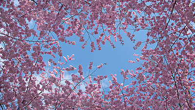 Cherry blossoms against blue sky - p30120536f by Sven Hagolani