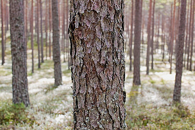 Pine forest Varmland Sweden - p31222890 by Roine Magnusson