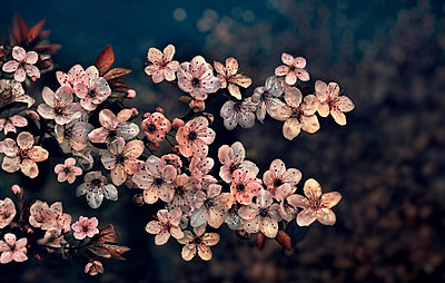 Cherry blossoms at night, Kyoto, Japan - p343m2028888 by Per-Andre Hoffmann