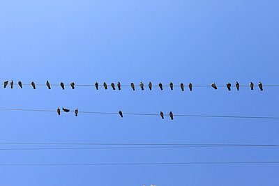 Pigeons on a power line - p0452746 by Jasmin Sander