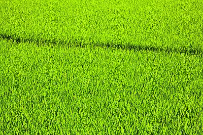 Dark line across green rice field - p1072m857341f by Cristina Saez