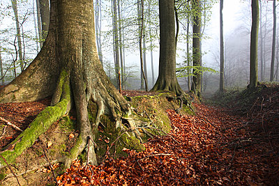 Roots of Beech (Fagus sylvatica) in forest in autumn, Belgium - p1144m944186 by Wouter Pattyn