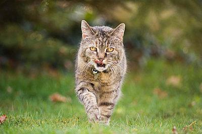 Tabby cat in a garden  - p1433m1538866 by Wolf Kettler