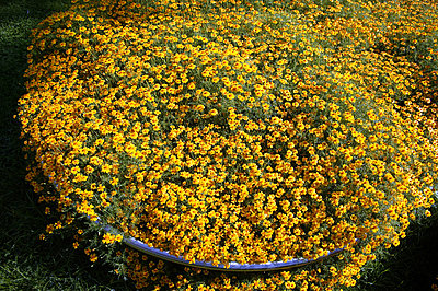 Yellow flowers in full blossom - p3882280 by L.B. Jeffries