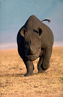 Black Rhinoceros charging - p884m862258 by Mitsuaki Iwago