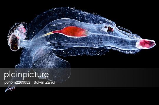 Sea elephant (Cardiopoda placenta), marine pelagic gastropod mollusc in the family Pterotracheidae. Deep sea heteropod. Atlantic Ocean, close to Cape Verde. Controlled conditions. - p840m2269852 by Solvin Zankl
