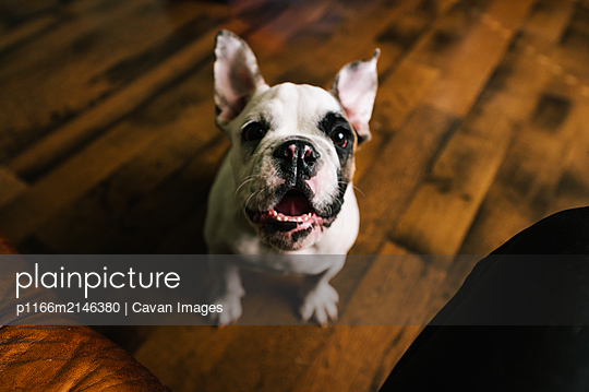 English bulldog barking with ears flopping up in home on wood floor. - p1166m2146380 by Cavan Images