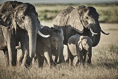 Herd of elephants, Kenya - p706m2158428 by Markus Tollhopf