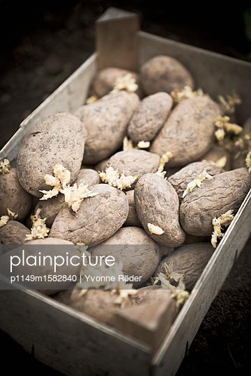 Keimende Kartoffeln - p1149m1582840 von Yvonne Röder