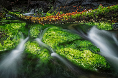 Brightly coloured algae lines the rocks as a stream comes out of the forest in the ocean; Haida Gwaii, British Columbia, Canada - p442m1180072 by Robert Postma