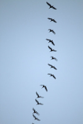 Cranes in flight - p7390332 by Baertels