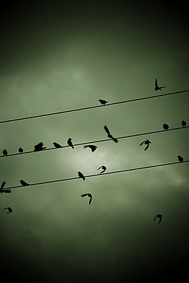 Birds on a wire - p248m787999 by BY