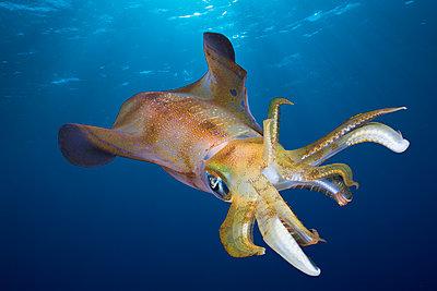 Bigfin reef squid   swimming underwater, Egypt - p343m1486316 by Reinhard Dirscherl