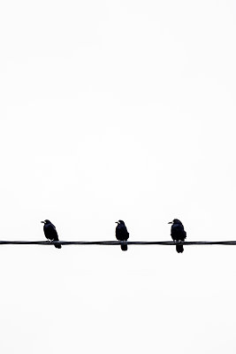 Three Rooks sitting on a power line  - p1302m2217313 by Richard Nixon