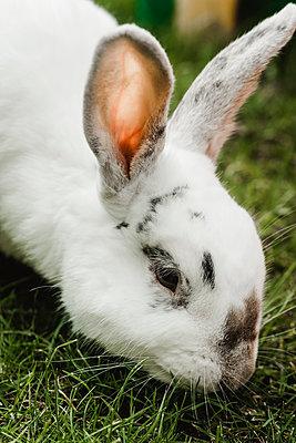 White rabbit feeding on grass - p1628m2211990 by Lorraine Fitch