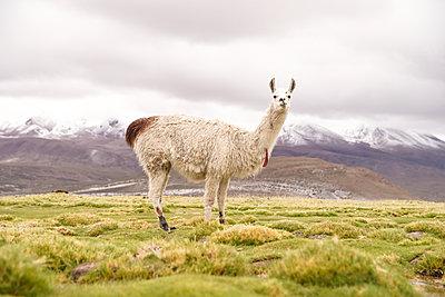 Peru, Lama - p1643m2229353 von janice mersiovsky