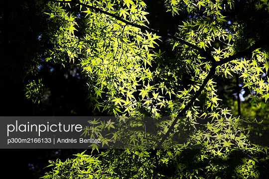 Japan, Kyoto Prefecture, Kyoto, Low angle view of green tree branches - p300m2166133 by Andrés Benitez