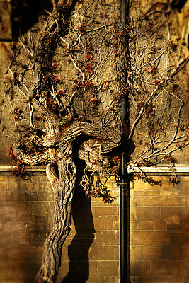 Old established virginia creeper against brick wall - p597m971226 by Tim Robinson