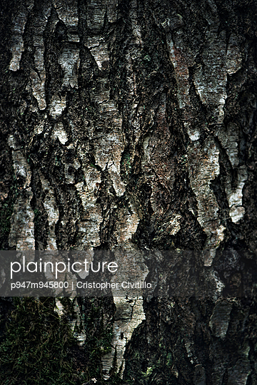 Tree bark, birch tree - p947m945800 by Cristopher Civitillo
