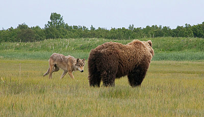 Wolf walking near Grizzly Bear - p884m863703 by Matthias Breiter