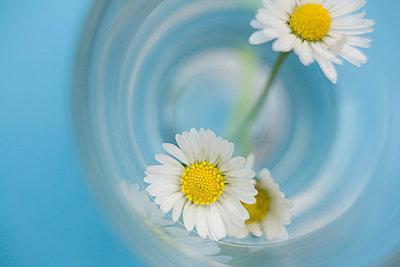 Gänseblümchen im Glas - p4540351 von Lubitz + Dorner
