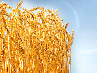 Grain, corn ears, close-up - p851m2289535 by Lohfink