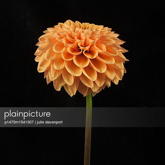 study of an orange dahlia on black - p1470m1541307 by julie davenport
