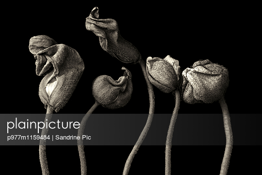 Budding poppies on black background - p977m1159484 by Sandrine Pic