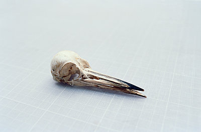 Animal skeleton, skull and beak of bird - p1481m2203829 by Peo Olsson