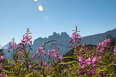 Blumenwiese in den Dolomiten, Cortina d'Ampezzo - p470m1223729 von Ingrid Michel