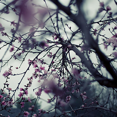 Peach Blossoms - p495m1215129 by Jeanene Scott