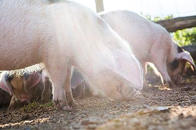 Schweine - p1057m1072059 von Stephen Shepherd