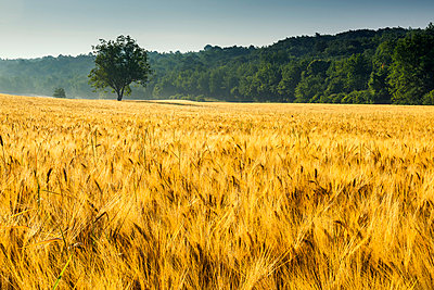 Tree in Field of Wheat, Provence, France - p651m2032858 by Tom Mackie