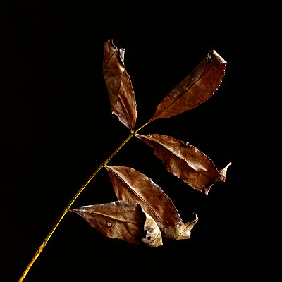 Ash leaves - p813m948631 by B.Jaubert