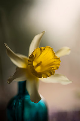 Narcissus in a vase - p971m903625 by Reilika Landen