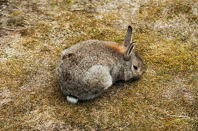 Wild rabbit feeding in a field - p1047m1087404 by Sally Mundy