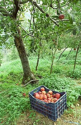 Apfelernte - p4470022 von Anja Lubitz