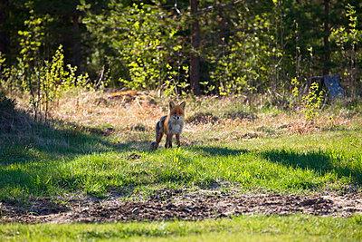 Aufmerksamer Fuchs am Waldrand - p235m1461965 von KuS